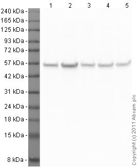 Western blot - Anti-beta Tubulin antibody - Loading Control (ab21057)