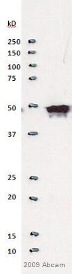Western blot - Maltose Binding Protein antibody (ab21144)