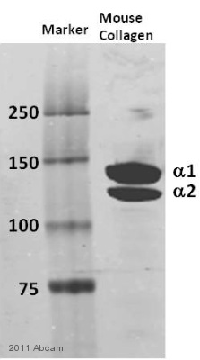 Western blot - Anti-Collagen I antibody (ab21286)