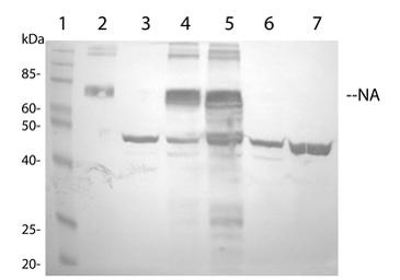 Western blot - Avian Influenza A Neuraminidase antibody (ab21304)