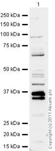 Western blot - Shugoshin antibody (ab21633)