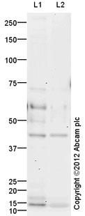 Western blot - Anti-CXCR2 antibody (ab21641)