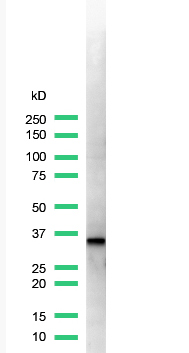 Western blot - Anti-Cyclin D1 antibody [SP4], prediluted (ab21699)