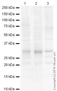 Western blot - Superoxide Dismutase 3 antibody (ab21974)