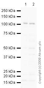 Western blot - gamma Adaptin antibody (ab21980)