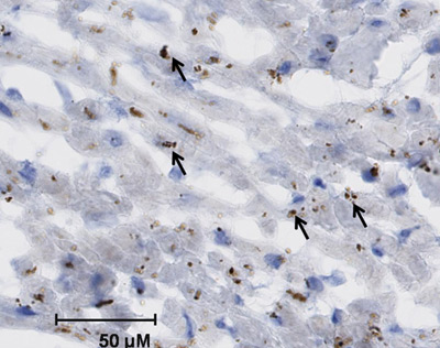 Immunohistochemistry (Frozen sections) - Anti-Cytochrome P450 2C8 + 2C9 + 2C19 + 2C12 antibody (ab22596)