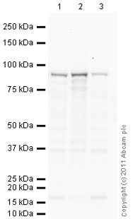Western blot - Anti-beta Catenin antibody [12F7] (ab22656)