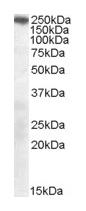 Western blot - SorLA antibody (ab22814)