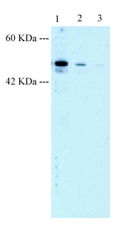 Western blot - LHX6 antibody (ab22885)