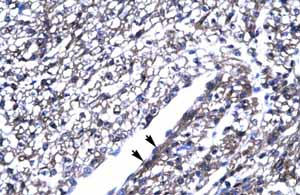 Immunohistochemistry (Formalin/PFA-fixed paraffin-embedded sections)-Anti-ThPok antibody(ab23388)