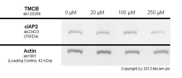 Western blot - Anti-cIAP2 antibody (ab23423)