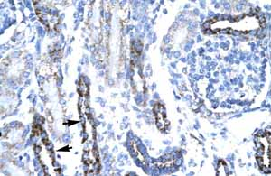 Immunohistochemistry (Formalin/PFA-fixed paraffin-embedded sections)-Anti-TATA binding protein TBP antibody(ab23474)