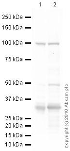 Western blot - UCP1 antibody (ab23841)