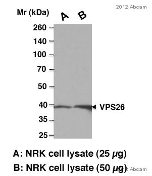 Western blot - Anti-VPS26 antibody (ab23892)