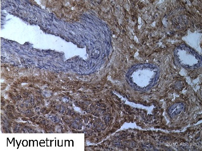 Immunohistochemistry (Frozen sections) - CD90 / Thy1 antibody [AF-9] (ab23894)