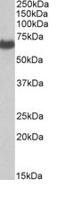 Western blot - Anti-EHD2 antibody (ab23935)