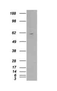 Western blot - Retinoid X Receptor beta antibody (ab23939)