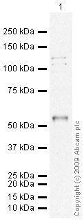 Western blot - FOXC1 antibody (ab24067)
