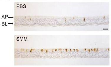Immunocytochemistry - Mucin 5AC antibody [2-11M1] (ab24071)