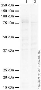 Western blot - BCRP/ABCG2 antibody [BXP-53] (ab24115)