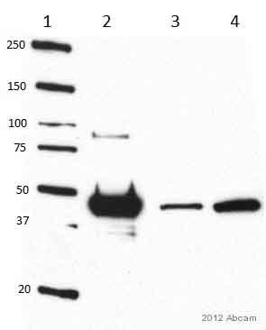 Western blot - Anti-NSE antibody [1C1] (HRP) - Neuronal Marker (ab24472)
