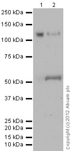 Western blot - Anti-CD146 antibody [P1H12] (ab24577)