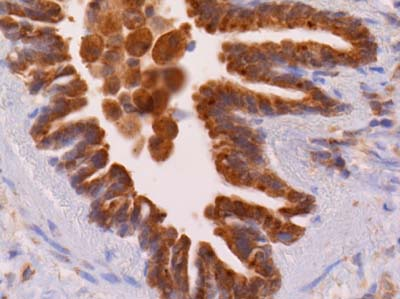 Immunohistochemistry (Formalin/PFA-fixed paraffin-embedded sections) - Anti-CX3CL1 antibody (ab25088)