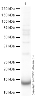 Western blot - Galectin 1 antibody (ab25138)