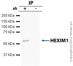 Immunoprecipitation - Anti-HEXIM1 antibody - ChIP Grade (ab25388)