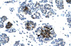 Immunohistochemistry (Formalin/PFA-fixed paraffin-embedded sections)-Anti-DNA Ligase IV antibody(ab26039)