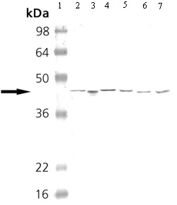 Western blot - cAMP Protein Kinase Catalytic subunit antibody (ab26322)