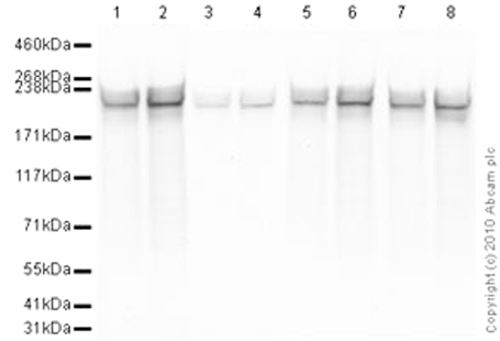 Western blot - RNA polymerase II CTD repeat YSPTSPS antibody - ChIP Grade (ab26721)