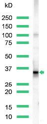 Western blot - CD20 antibody (ab27093)