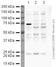 Western blot - Anti-MAP kinase substrate 1 antibody [34E10] (ab27157)