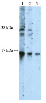 Western blot - BLBP antibody - Neuronal Marker (ab27171)