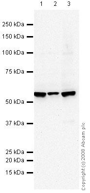 Western blot - ICAM1 antibody [B-H17] (ab27294)