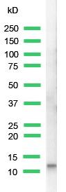 Western blot - Cholecystokinin 8 antibody - Azide free (ab27441)