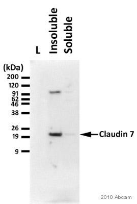 Western blot - Claudin 7 antibody (ab27487)