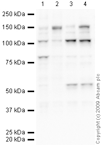 Western blot - KDM4B / JMJD2B antibody (ab27531)