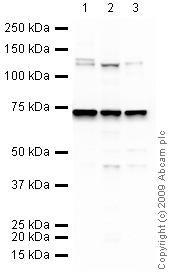 Western blot - KDM4C / GASC1 / JMJD2C antibody (ab27532)