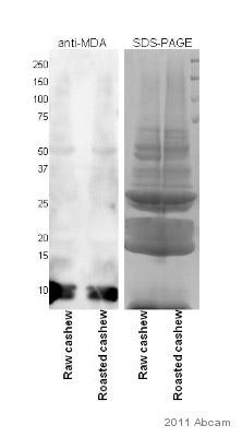 Western blot - Anti-Malondialdehyde antibody (ab27642)