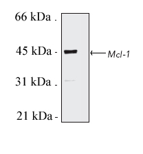 Western blot - MCL1 antibody (ab28147)