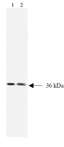 Western blot - alpha SNAP antibody [15D4] (ab28352)