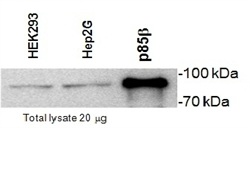 Western blot - Anti-PI 3 Kinase p85 beta antibody [T15] (ab28356)