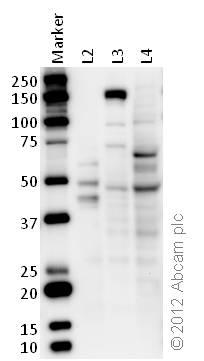 Western blot - Anti-ONECUT2 antibody (ab28466)
