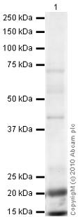 Western blot - Somatostatin Receptor 5 antibody (ab28618)