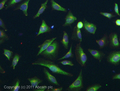 Immunocytochemistry/ Immunofluorescence - Anti-VPAC2 antibody (ab28624)