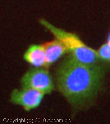 Immunocytochemistry/ Immunofluorescence - Anti-RAB14 antibody (ab28639)