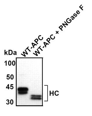 Western blot - Protein C antibody (ab28663)