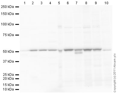 Western blot - Anti-Zhangfei antibody (ab28700)